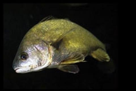 News & Tips: Six Reasons to Fish for Freshwater Drum...