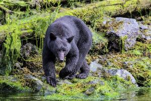 Bear: Copyright Denver Bryan/ Images On The Wildside 2016...