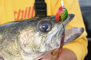 Angler holding walleye with snelled fishing spinners and nightcrawler hooked in its mouth